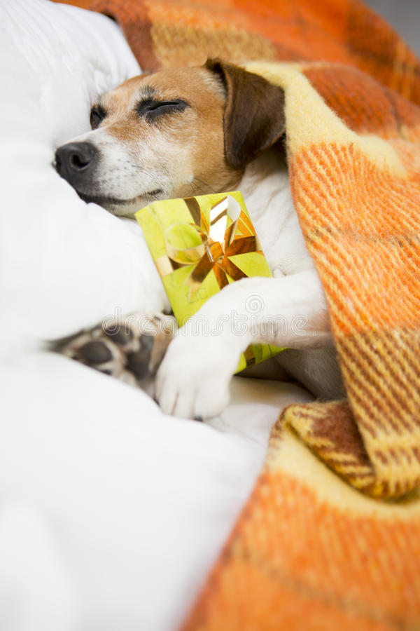 Sleeping dog with Present box gift. Sleeping cozy pet under a blanket on the pillow. In anticipation of the holiday. Do not open until Christmas stock images