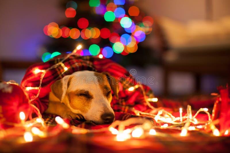 Sleeping dog under christmas tree. Pet under plaid stock photos