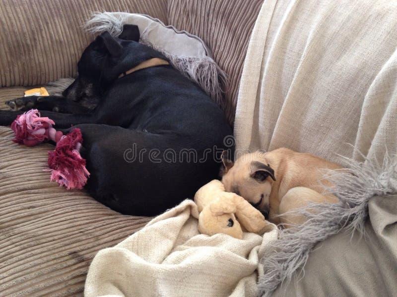 Sleeping dogs stock photography