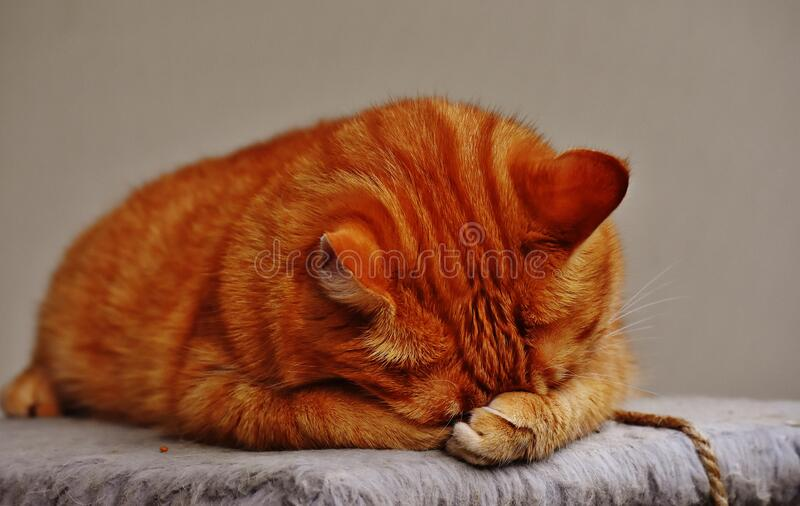 Sleeping domestic cat stock images