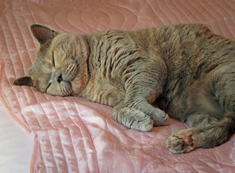 Sleeping dozy pedigree cat on pink satin sheet stock photography