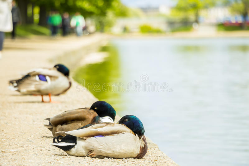 Sleeping ducks royalty free stock photography