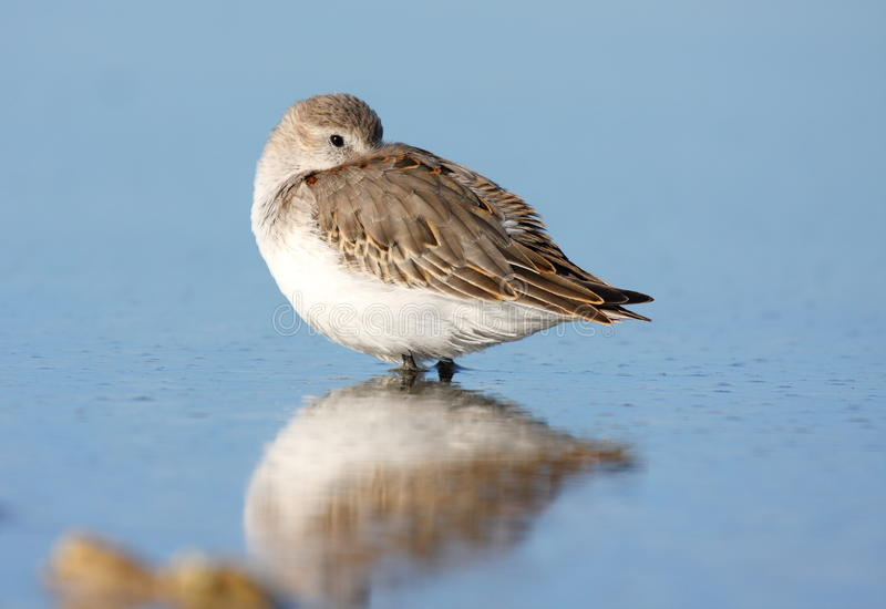 Sleeping Dunlin Royalty Free Stock Image