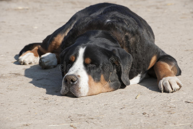 Sleeping farm-dog - St. Bernard dog. Sleeping St. Bernhard dog in the farmyard stock image