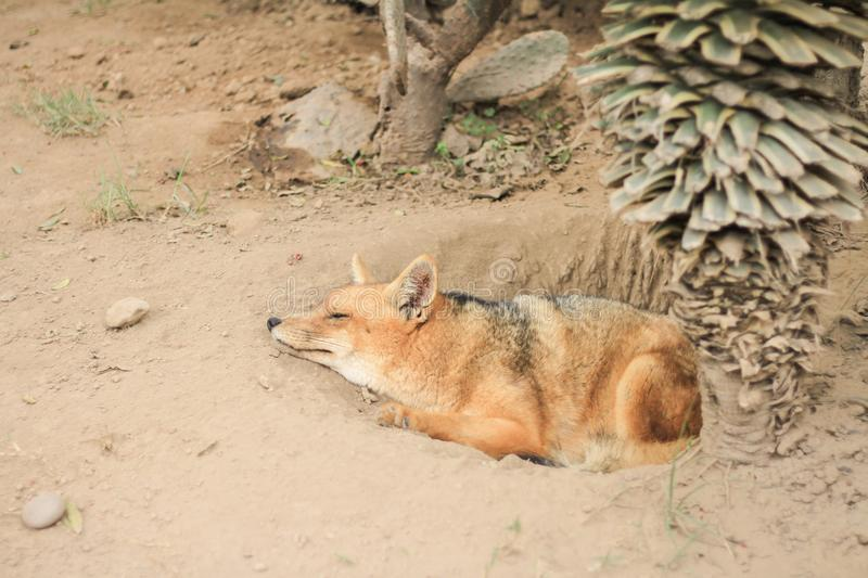 Sleeping fox. Fox sleeping on the ground in desert royalty free stock photography
