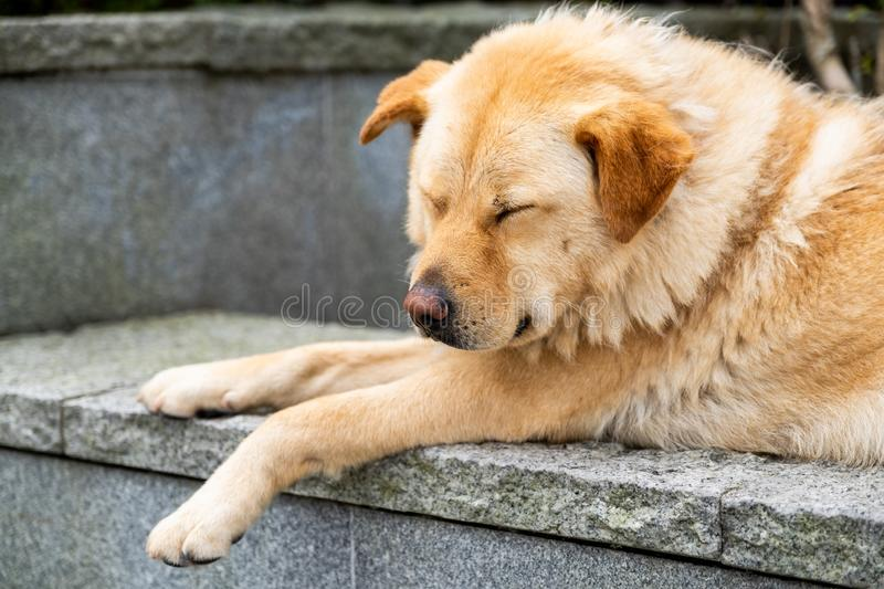 A sleeping furry brown dog is laying down on the rock. And solid wall royalty free stock image