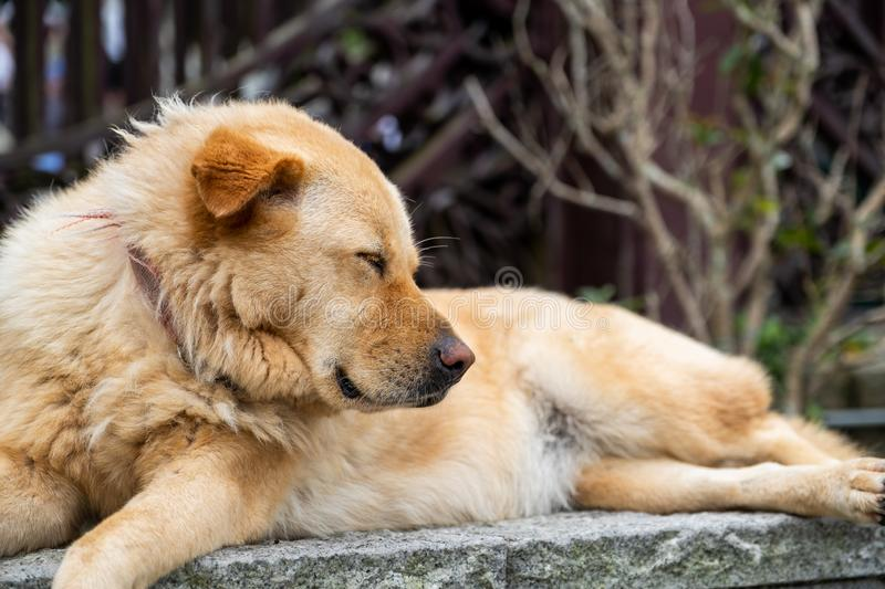 A sleeping furry brown dog is laying down on the rock. And solid wall stock image