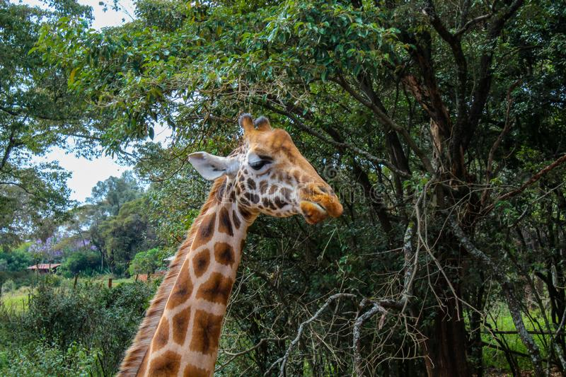 Sleeping giraffe. A giraffe closing it& x27;s eyes and standing royalty free stock image