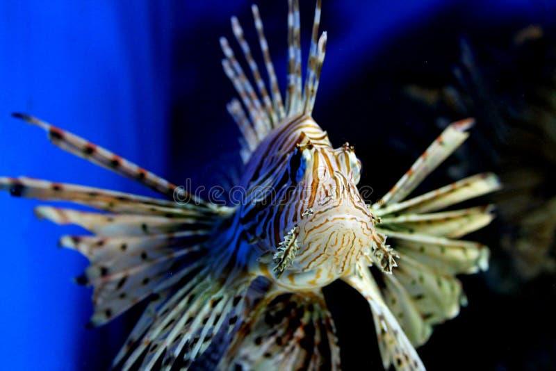 Sevastopol Aquarium. Sevastopol . in a   in the  of the  . , , bluewater, fish, beautifulfish, exoticfish stock image