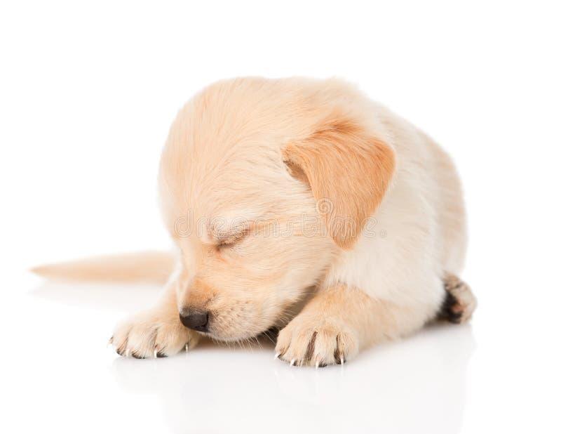 Sleeping golden retriever puppy dog. on white background.  stock images