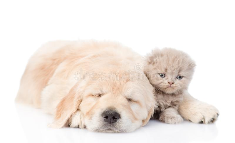 Sleeping golden retriever puppy embracing tiny kitten. isolated on white background royalty free stock photo