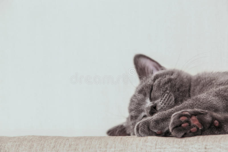 Sleeping gray british shorthair kitten. Light background. Free space for text royalty free stock photo