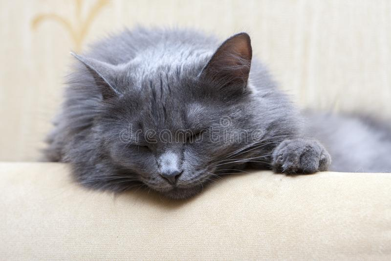 Sleeping gray cat on sofa stock photos