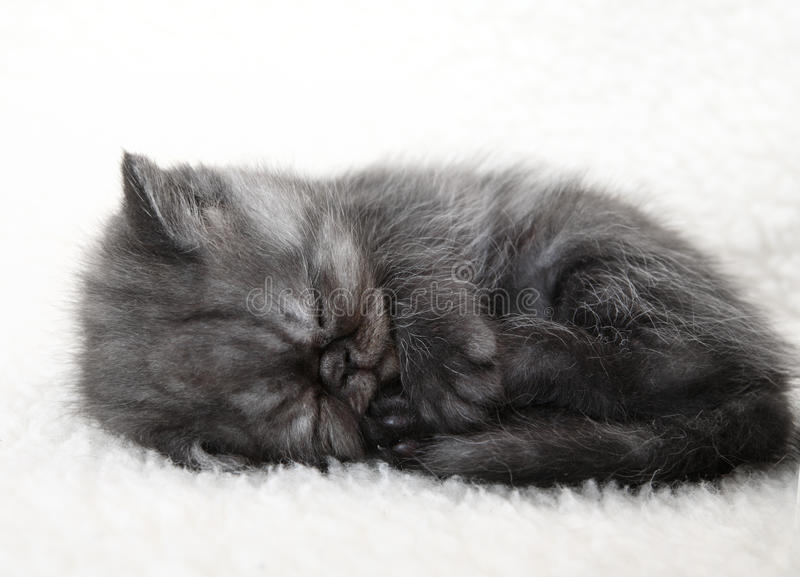 Sleeping gray kitten. Sleeping little gray fluffy kitten royalty free stock image