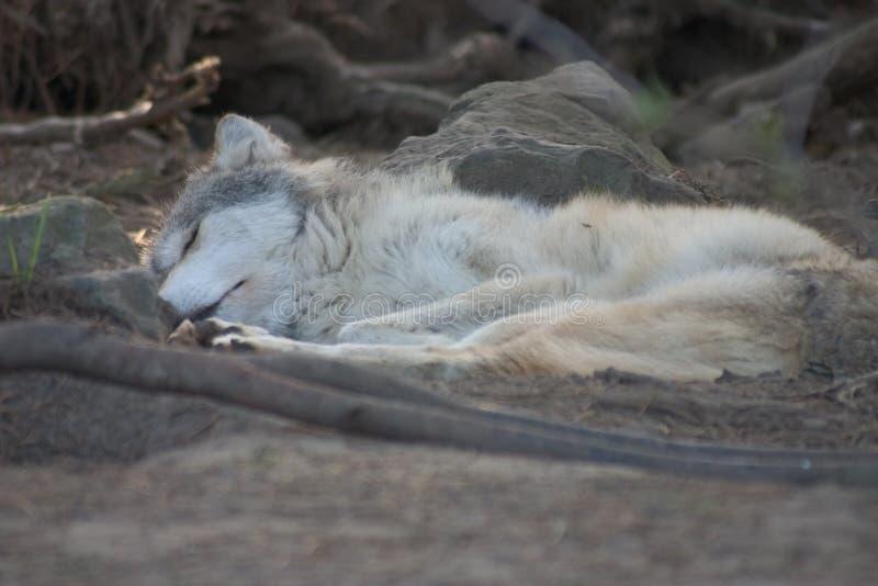 Sleeping Grey wolf pup. stock image
