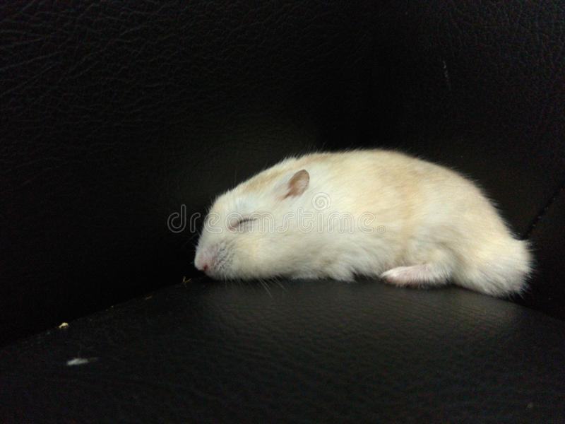 Sleeping hamster royalty free stock photos