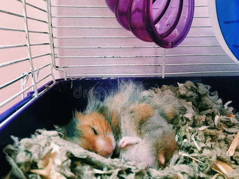 Sleeping hamster royalty free stock photography
