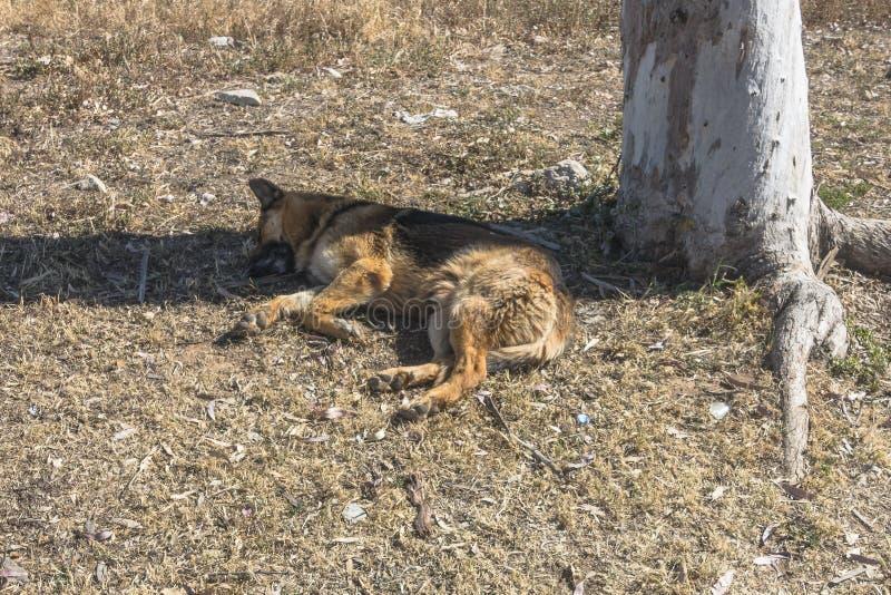 Sleeping dog. Sleeping homeless dog . Cyprus , Turkish part of the island stock image