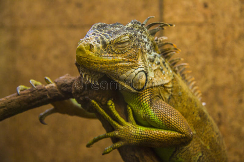 Sleeping Iguana. Close up shot of a green Iguana resting on a tree branch royalty free stock photography