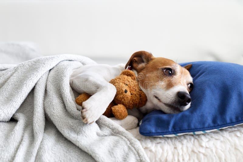 Sleeping jack russel terrier puppy stock photos