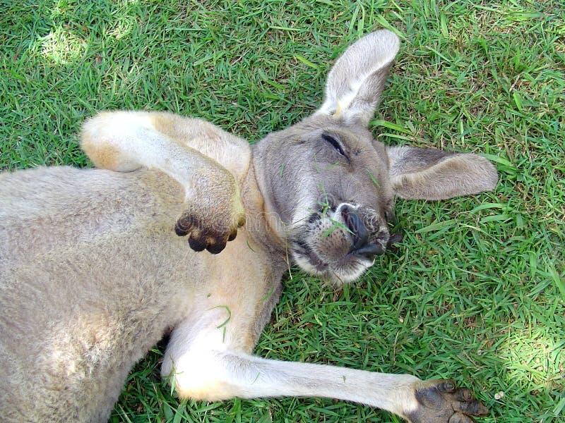 Sleeping Kangaroo royalty free stock image