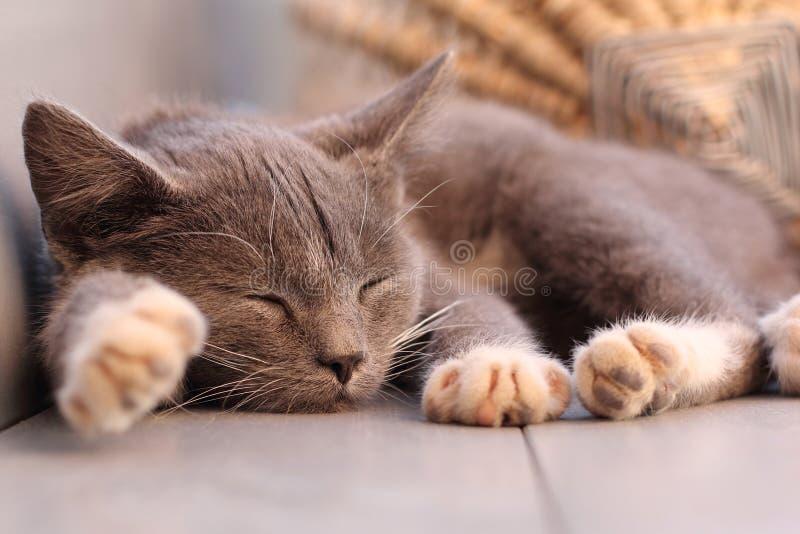Sleeping kitten. Portrait of an adorable sleeping kitten on the floor close up
