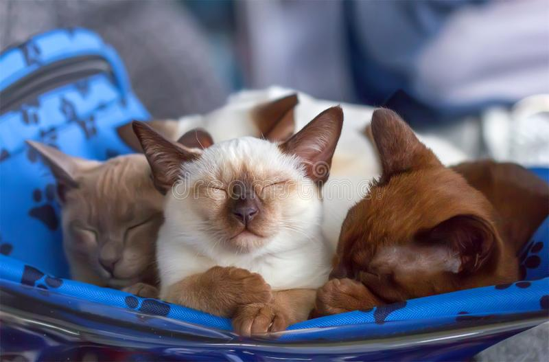 Sleeping kittens Thai and Burmese breed. stock photos