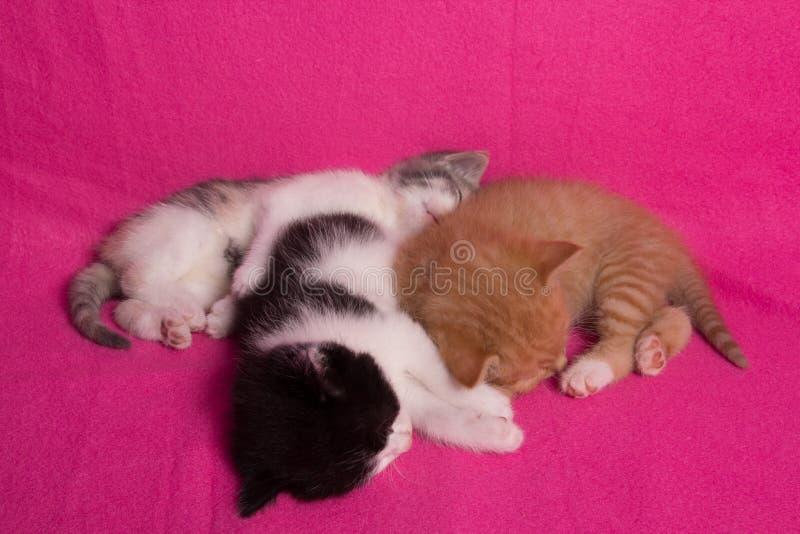 Sleeping kittens. Three sleeping kittens on a pink blanket stock photo
