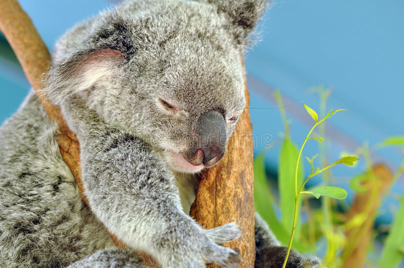 Download Sleeping Koala stock photo. Image of nature, icon, wildlife - 12259712