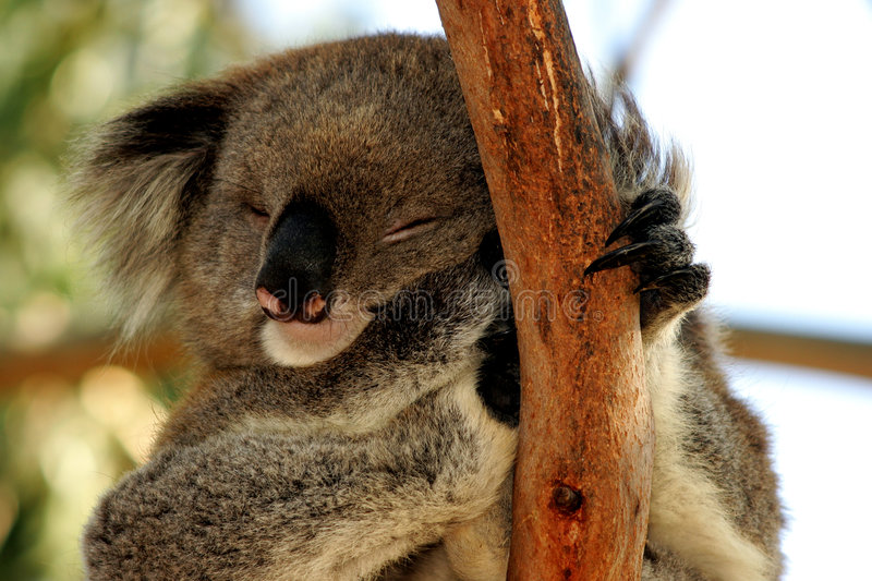 Download Sleeping Koala stock photo. Image of cute, nature, marsupial - 9026192