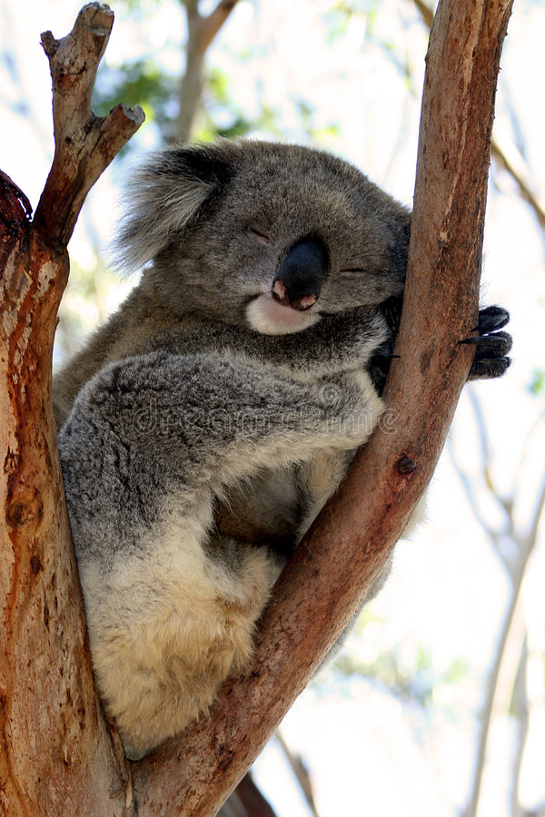 Download Sleeping Koala stock photo. Image of australian, herbivore - 9026310