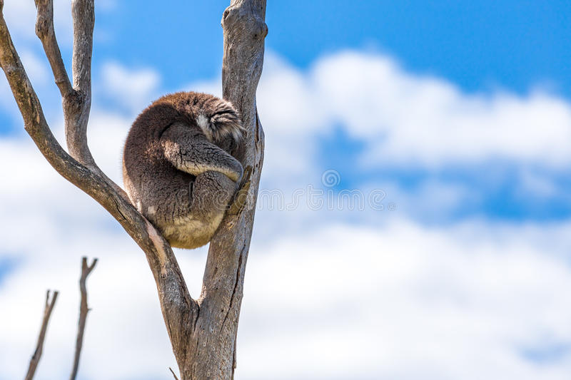 Sleeping Koala Bear royalty free stock photos
