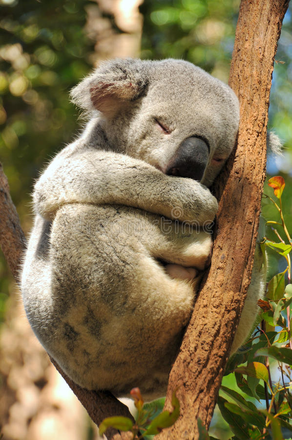 Sleeping koala on a branch. A koala is sleeping on a branch in a funny posture stock photography