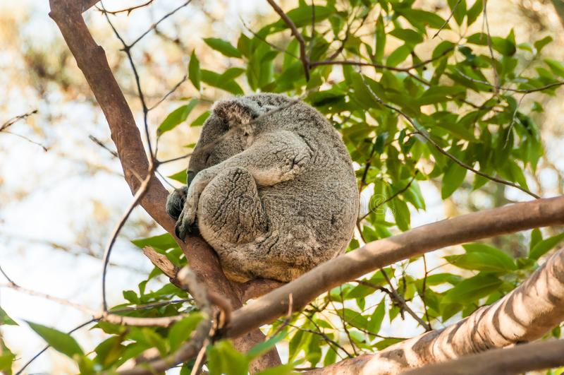 Sleeping Koala on a branch of eucalyptus tree in the Australian reserve royalty free stock photos