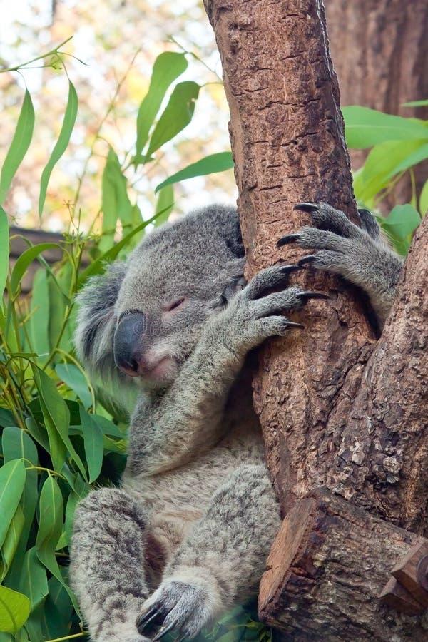 Free Sleeping Koala On Eucalyptus Tree Stock Photography - 22095562
