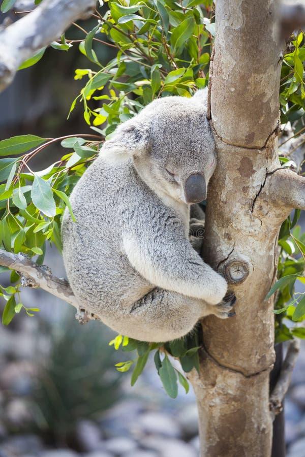 Download Sleeping Koala stock image. Image of embracing, australia - 39507861
