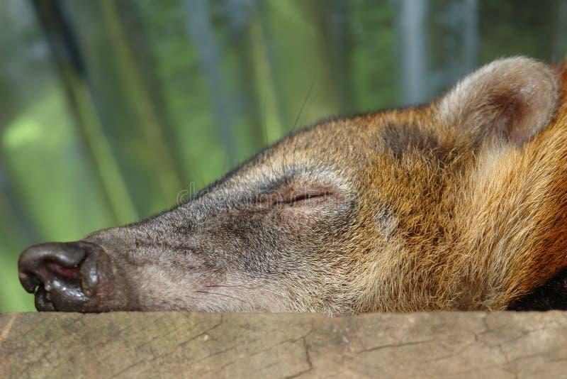 Sleeping koati. amazonian rain forest. ecuador stock images
