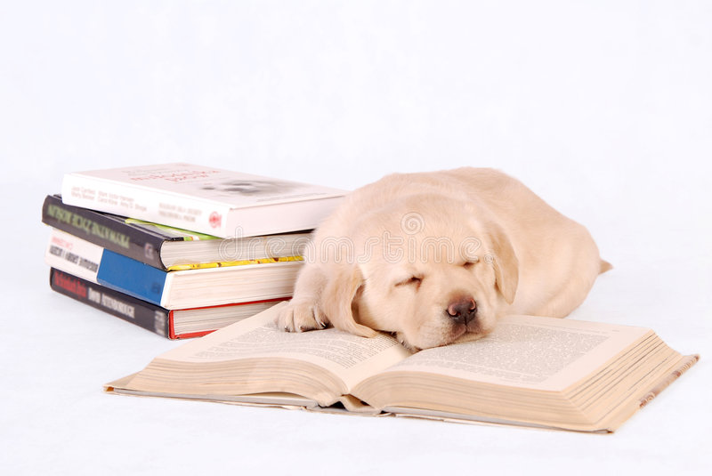 Sleeping Labrador Puppy with books stock image