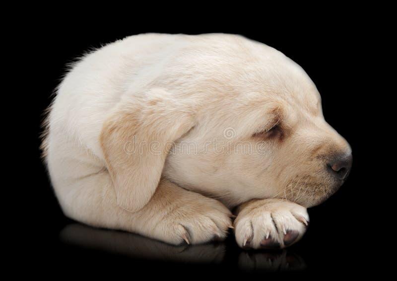 Sleeping Labrador puppy dog. Cute sleeping Labrador puppy dog on black stock photos