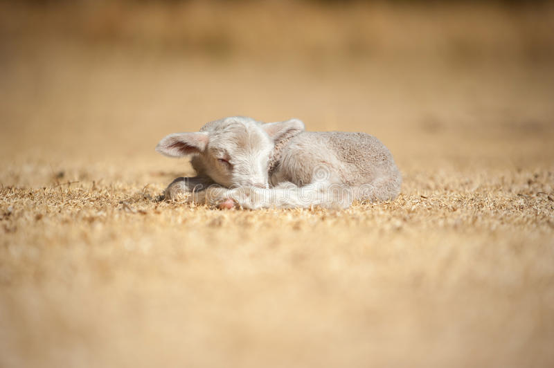 Sleeping lamb stock photography