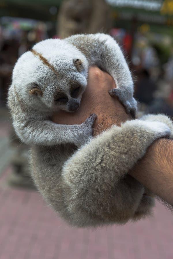 Sleeping lemurs in male hand. Sleeping lemur in a male hand closeup stock photos