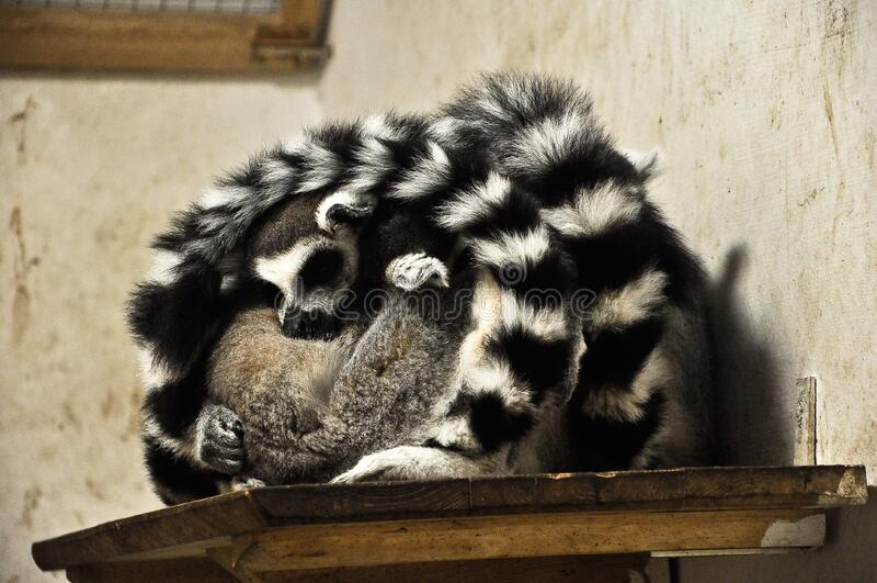 Sleeping Lemurs Free Public Domain Cc0 Image