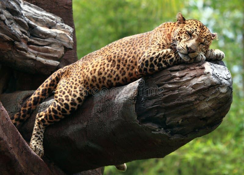 Sleeping Leopard stock image