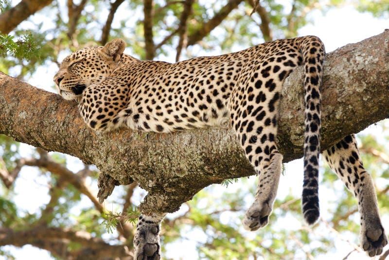 Sleeping leopard stock photos