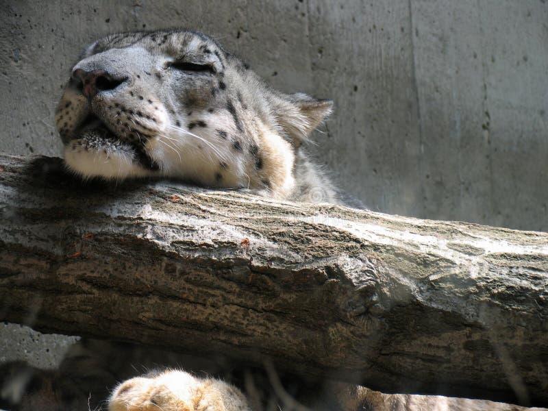 Download Sleeping Leopard stock image. Image of regal, catnap, slumber - 673855