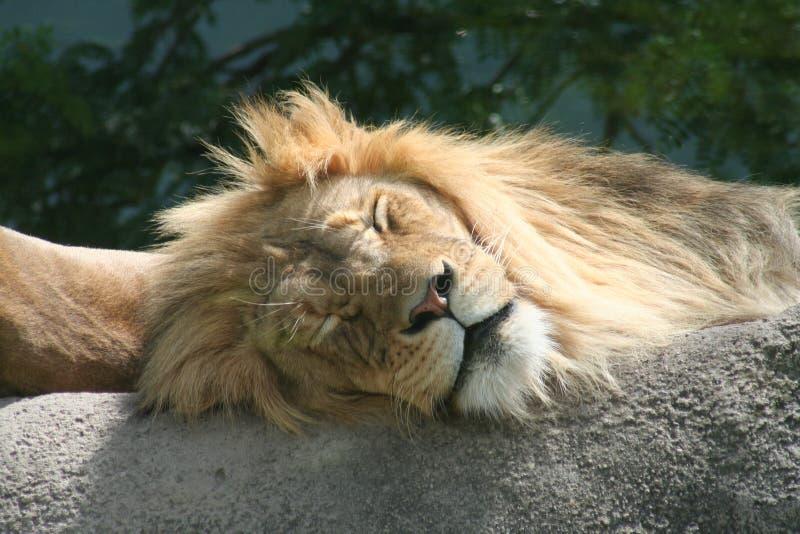 Sleeping Lion royalty free stock photography