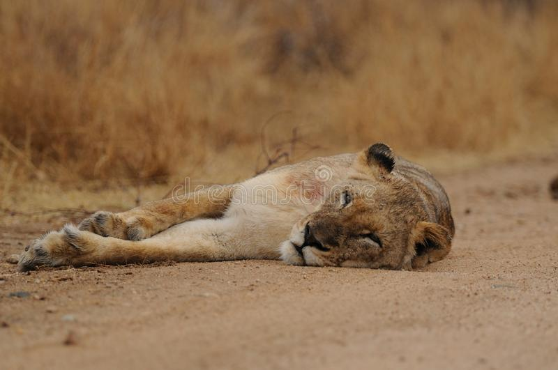 Sleeping Lion. This lion is sleeping on the road, which we drive at our safari stock photo