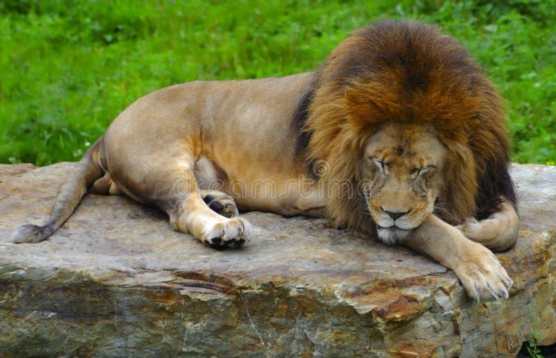 Sleeping Lion Stock Image