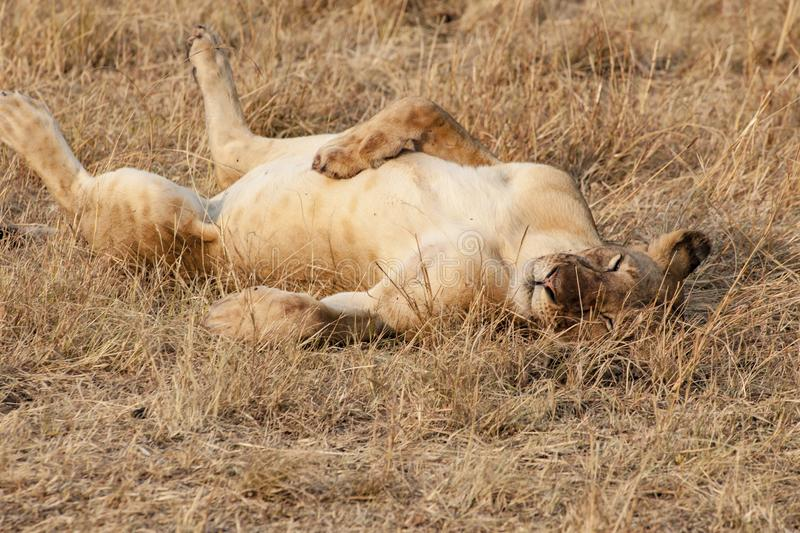 Sleepy lion in evening sun in Serengeti of Tanzania. Sleeping lion lying on the back in the Serengeti, Tanzania, takes no notice from people on safari royalty free stock image
