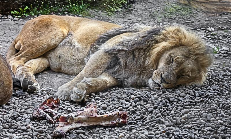 Sleeping lion male 1 royalty free stock image